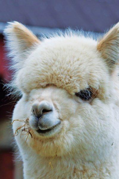 Alpaca-weiss